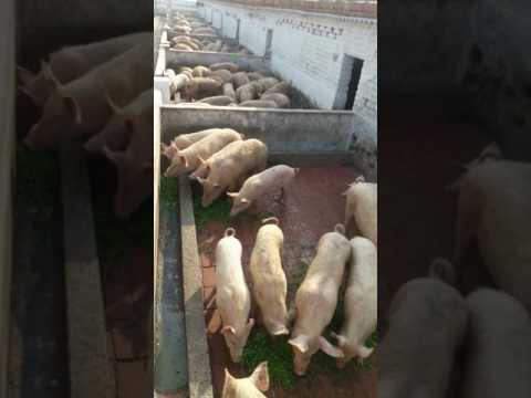 Royal Green Pig Farm, Dighal, Jhajjar, Haryana, 9868601471, 9868672301