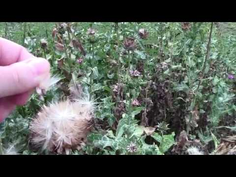 Milk thistle (Silybum marianum) plant and seeds in mid August