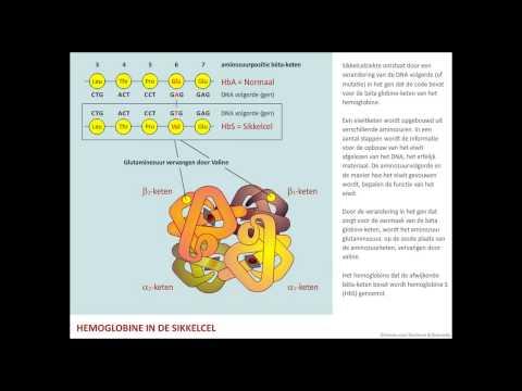 Hemoglobine in de sikkelcel – Sikkelcelziekte