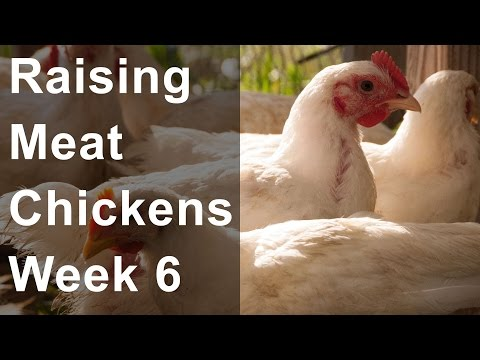 Raising Chickens for Meat: Week 6 of 8, Feeding Grain