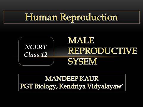 Class 12 NCERT Human Reproduction (CBSE) Part 2