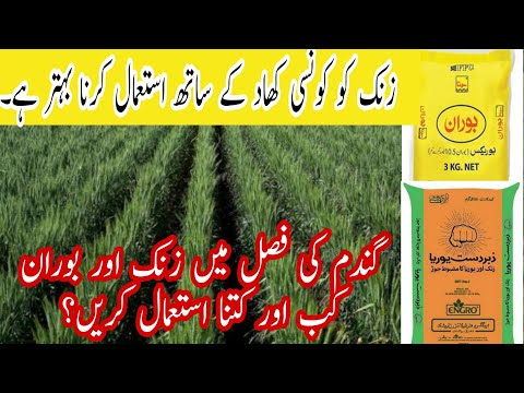 When and how much zinc and boron should be applied in wheat crop in Pakistan| Bilal Kanju Official