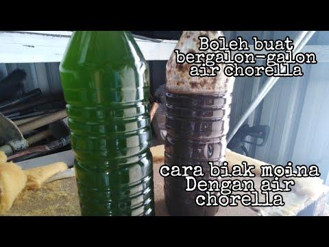 🔴cara biakkan chlorella dengan betul//makanan kutu air