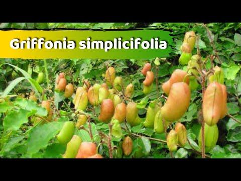 Griffonia simplicifolia para que serve?  Como usar o 5-HTP?