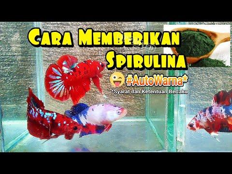 Cara Memberikan Spirulina Untuk Ikan Cupang | Cupang Auto Warna!