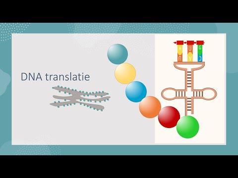 Translatie of eiwitsynthese