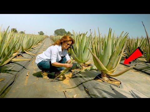 দেখুন এর থেকে অ্যালোভেরা জেল কিভাবে তৈরি হবে | Modern Aloe Vera Farming & Agriculture Technology