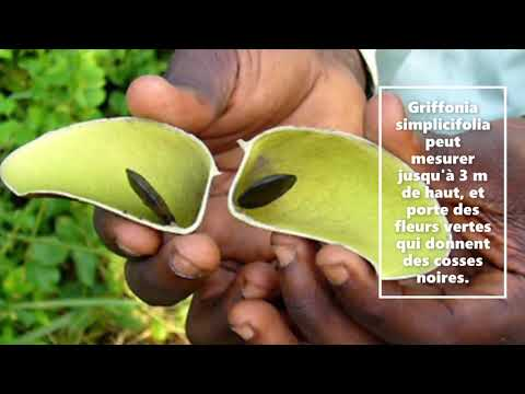 Griffonia simplicifolia – 5-HTP – Mon Bio Moulin à Dunkerque