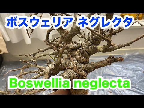 ボスウェリア ネグレクタ/Boswellia neglecta(塊根、灌木、caudex、Plants)