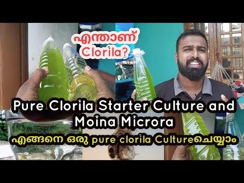 how to Culture pure clorila Malayalam| moina microra culture |chlorella algae culture |Ep114