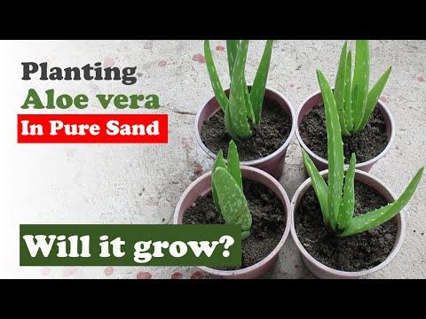 Planting Aloe vera in Pure Sand