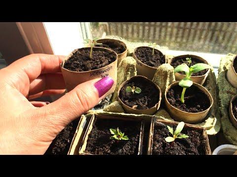 Hoe plantjes zaaien en tips: voorkom lange slappe zaailingen.