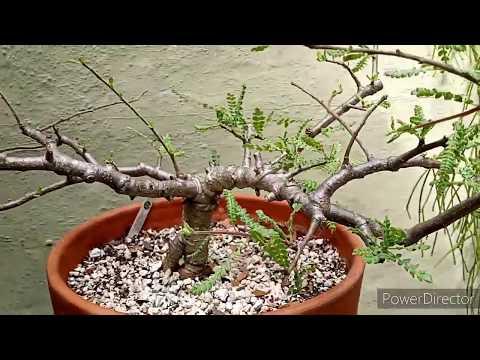 Funky Tree Fridays #11 Boswellia neglecta Frankincense trees.