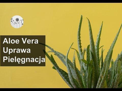 Aloes. Uprawa wymagania pielęgnacja. Jak dbać o aloesy?