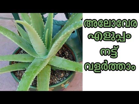 എങ്ങിനെ കറ്റാർവാഴ വളർത്തിയെടുക്കാം | How to grow aloe vera plant at home jaiva krishi tips malayalam