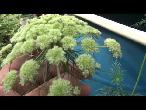 ⟹ CARROT FLOWER UMBEL – CHECK IT OUT!!!! #FLOWER